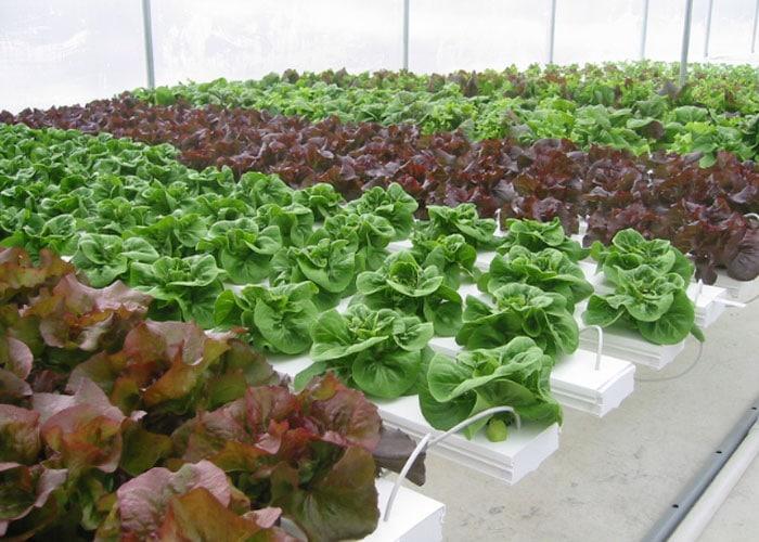 CSA Farm Green Bay WI hydroponic lettuce
