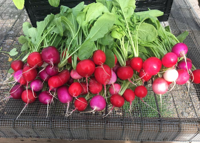 CSA Farm Green Bay WI radishes