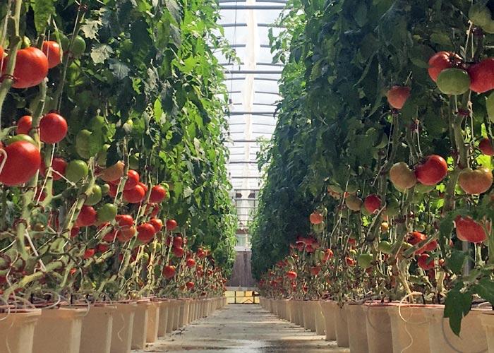 CSA Farm Green Bay WI hydroponic tomatoes