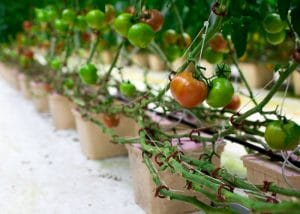 CSA Farm Green Bay WI hydroponic tomatoes