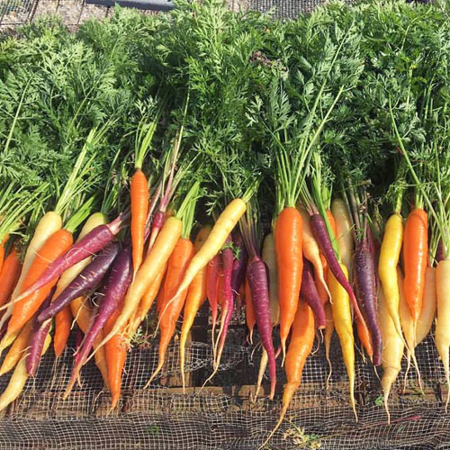 CSA Farm Green Bay WI carrots